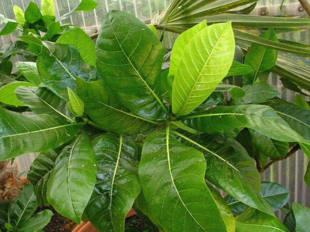 Providing Tree And Plant Care: Gardenias In Winter: How To Winterize Gardenia Plants