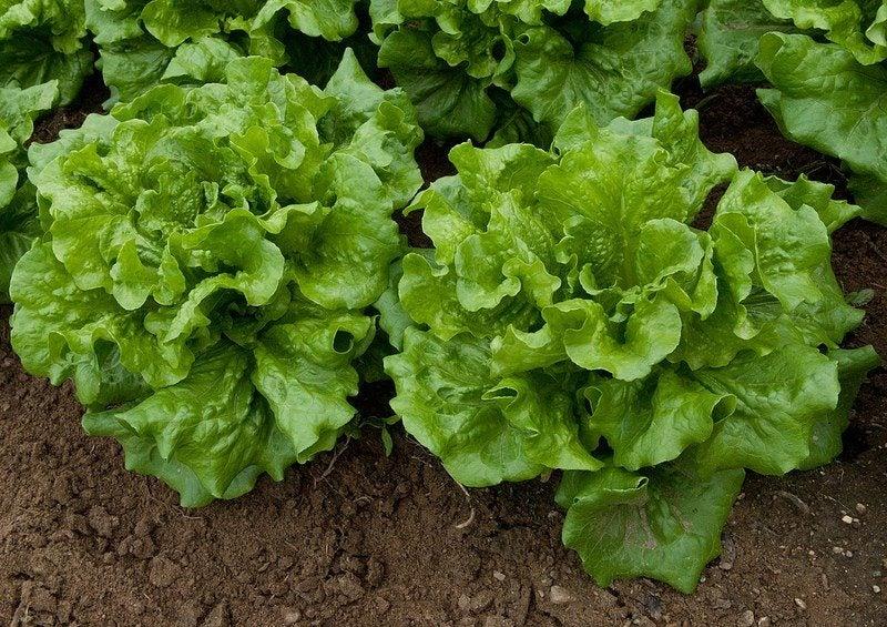 Świeża sałatka z warzyw liściowych przez cały rok