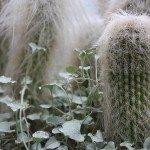 old-man-cactus