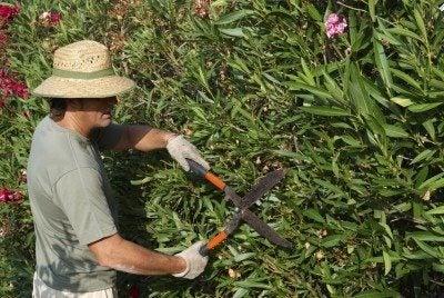 oleander pruning