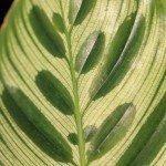 peacock-plant-leaf
