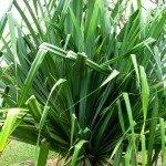 screw-pine-plant