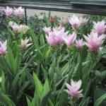 siam-tulips