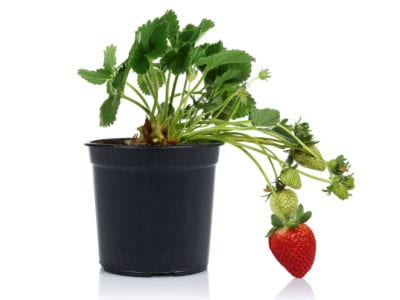 Tips For Growing Strawberries Indoors