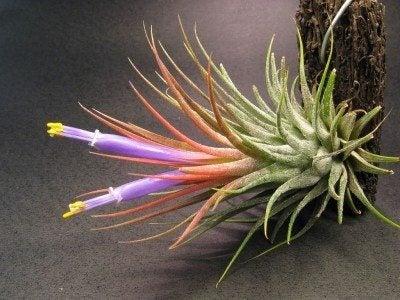 tillandsia-sky-plant