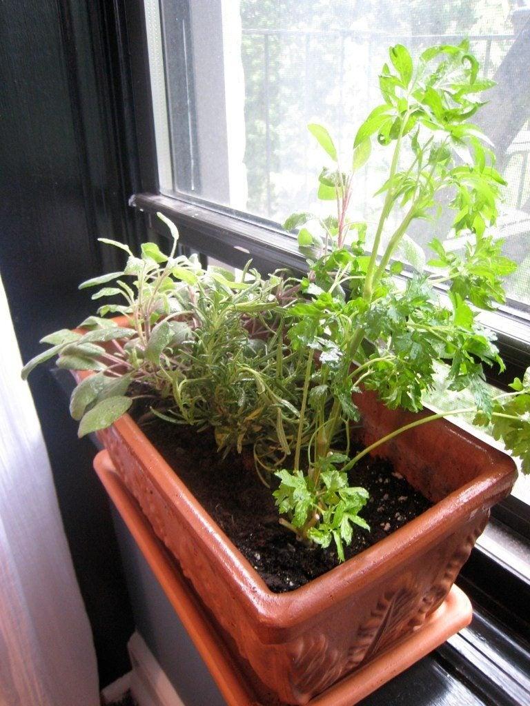 Garden Bush: Growing Plants In Windowsills: Edible Plants For