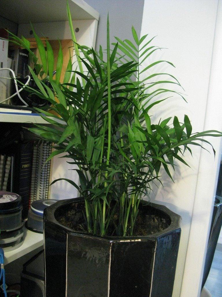 areca palm plants how to grow areca palm houseplant. Black Bedroom Furniture Sets. Home Design Ideas
