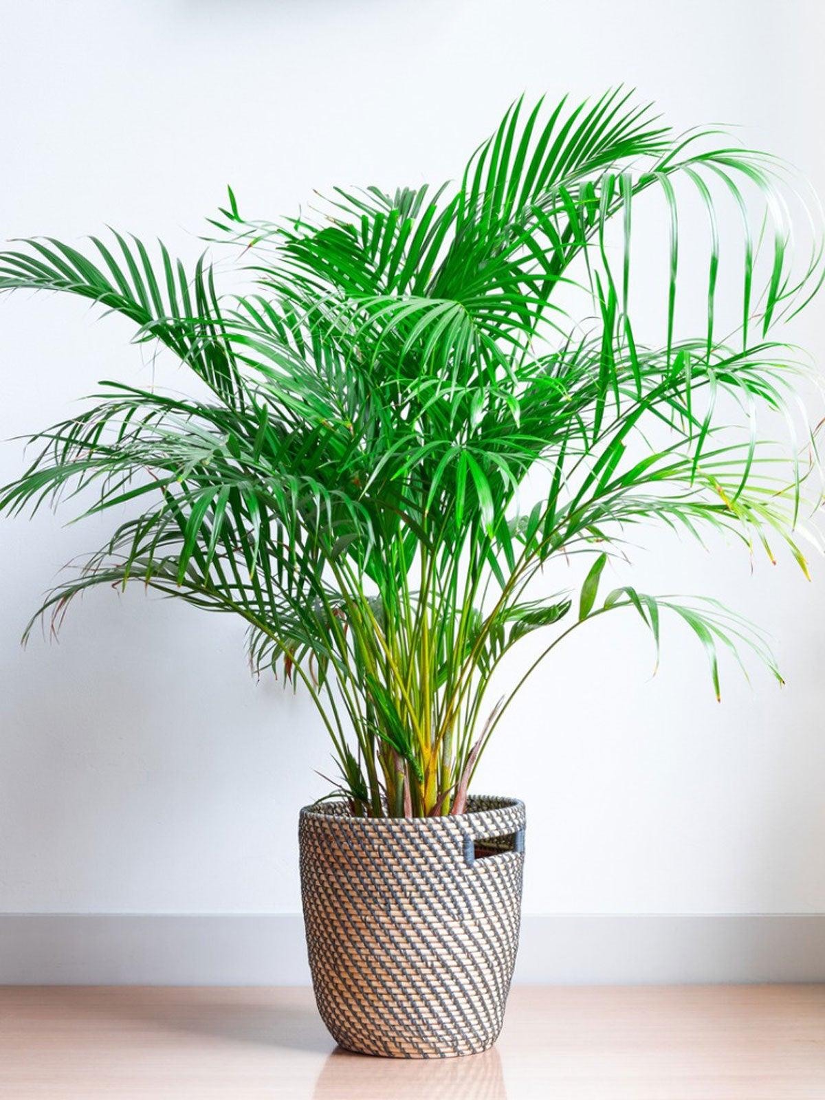 Areca Palm Plants How To Grow Areca Palm Houseplant