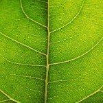 chlorophyll-green-leaf