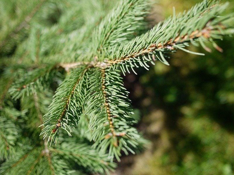 """Картинки по запросу """"coniferous trees species how to grow"""""""