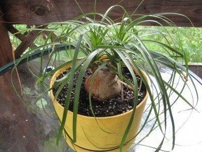 Bonsai ponytail palms: how to prune ponytail palm bonsai