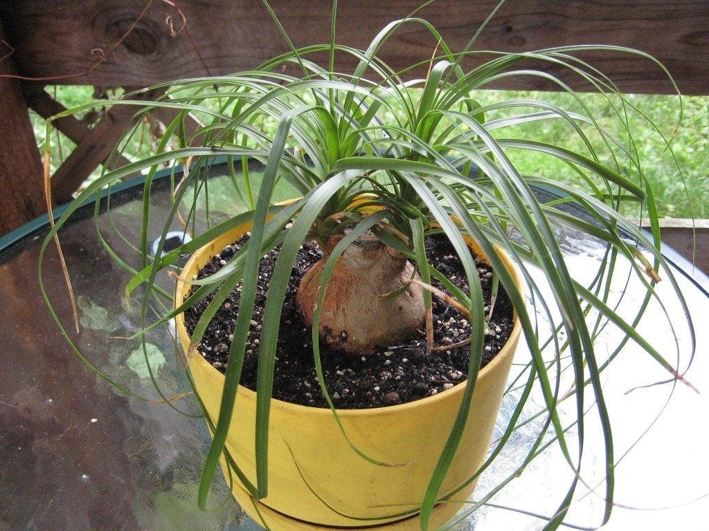 Ponytail Palm Bonsai Care – Trimming Ponytail Palms Into