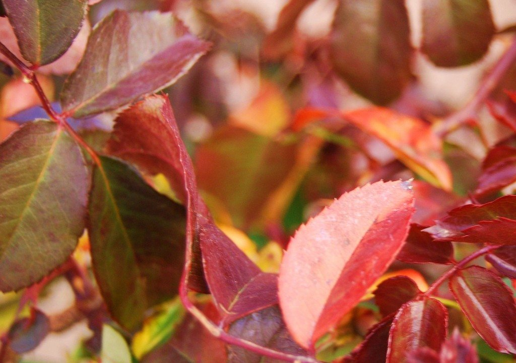 Rose Bush With Red Leaves - What Causes Leaves To Turn Red ...