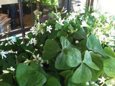 shamrock-plant