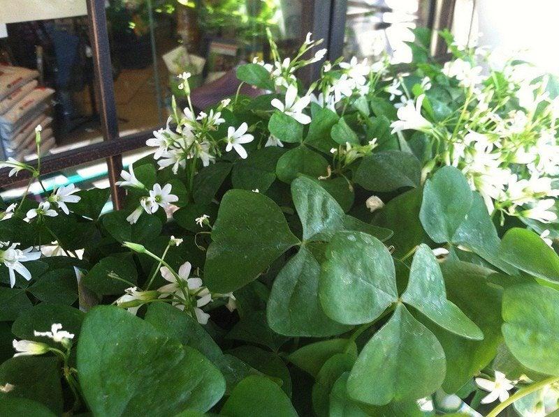 Growing oxalis houseplant tips on caring for shamrock plants - Shamrock indoor plant ...