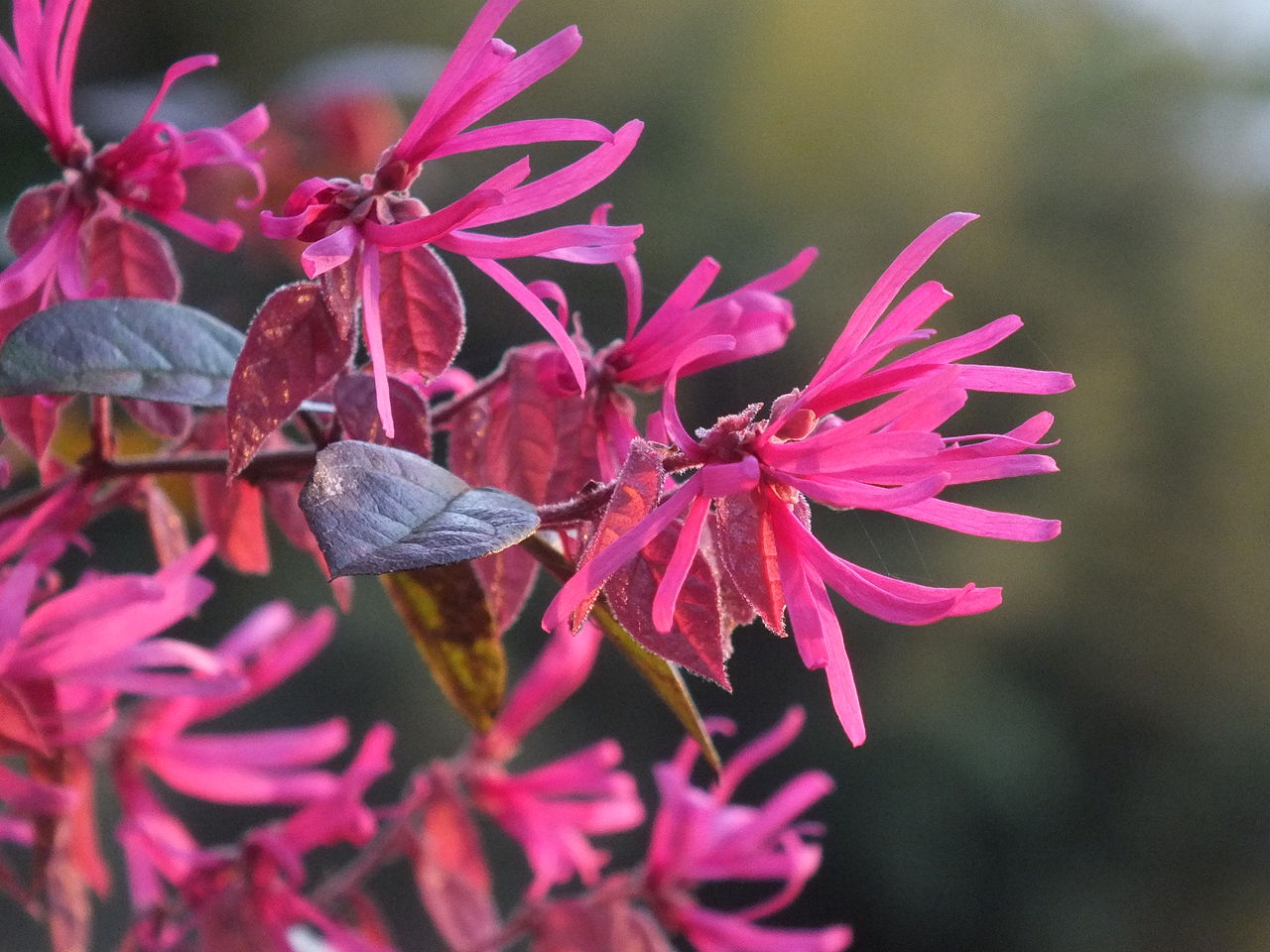About Chinese Fringe Plants Tips For Growing Loropetalum