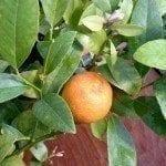 Mandarin lime