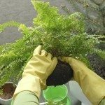 dividing a boston fern