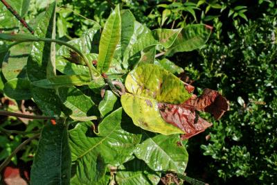 mandevilla yellow leaves