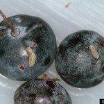 blueberry-maggots