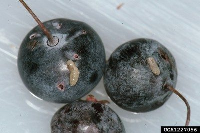 What are blueberry maggots: learn about maggots in blueberries