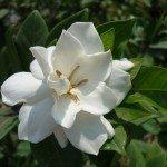 gardenia-augusta