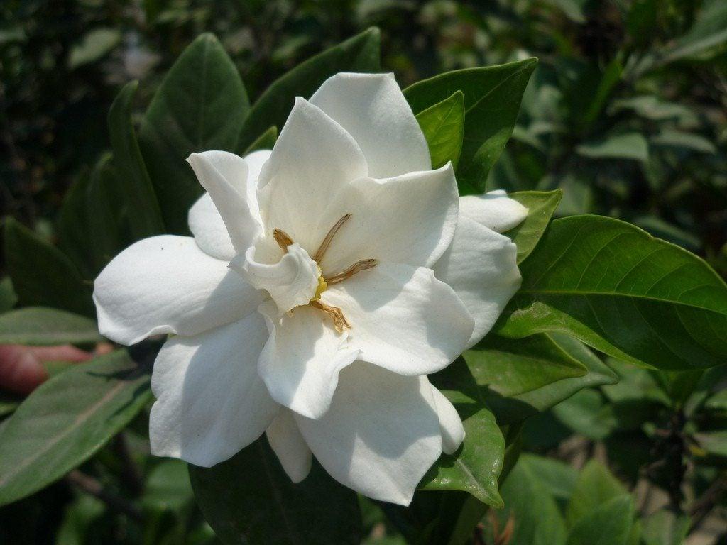 Common gardenia varieties different types of gardenia shrubs izmirmasajfo