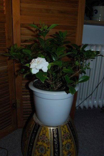 gardenia-houseplant