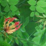 gloriosa-climbing-lily
