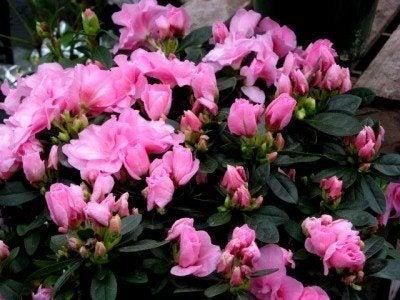 greenhouse-azalea