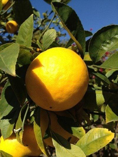 Meyer Lemon Tree Care Learn About Growing Lemons