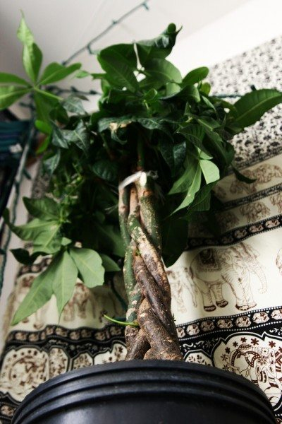 Money Tree Plant Care Tips On Growing A Houseplant