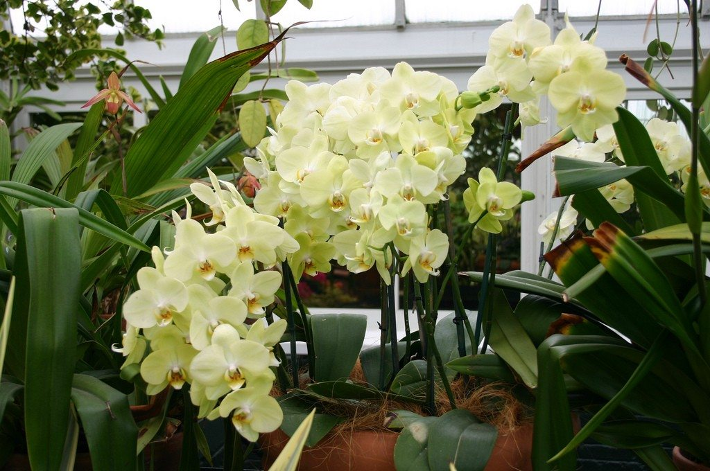 Moth Orchid Info How To Care For A Phalaenopsis Orchid
