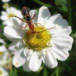 Hyménoptère parasite -- Parasitic Wasp