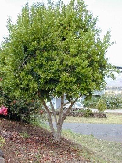pimenta-allspice-tree