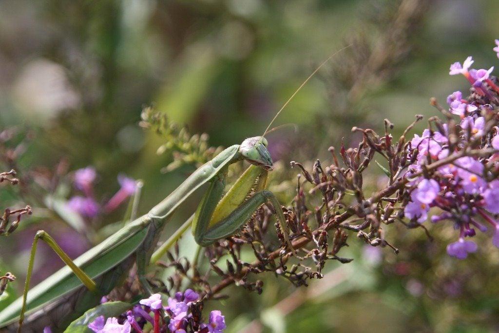 Attracting Praying Mantis Using Praying Mantids For Pest Control