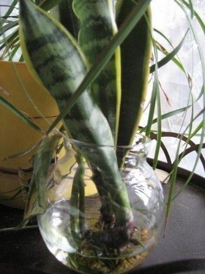 snake plant care tips for propagating snake plants. Black Bedroom Furniture Sets. Home Design Ideas