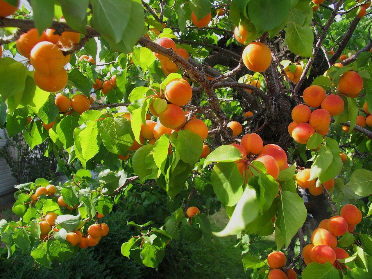 Apricot tree bug control learn about common pests on - Como se podan los arboles frutales ...