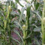corn-in-garden