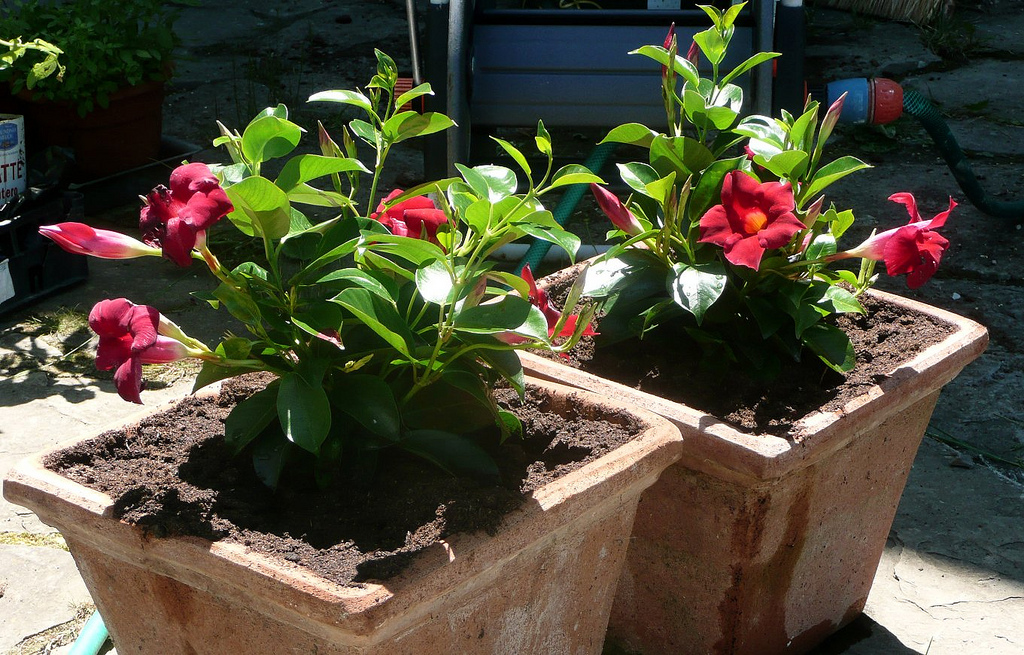 Mandevilla Or Dipladenia Information About The Care Of Dipladenia