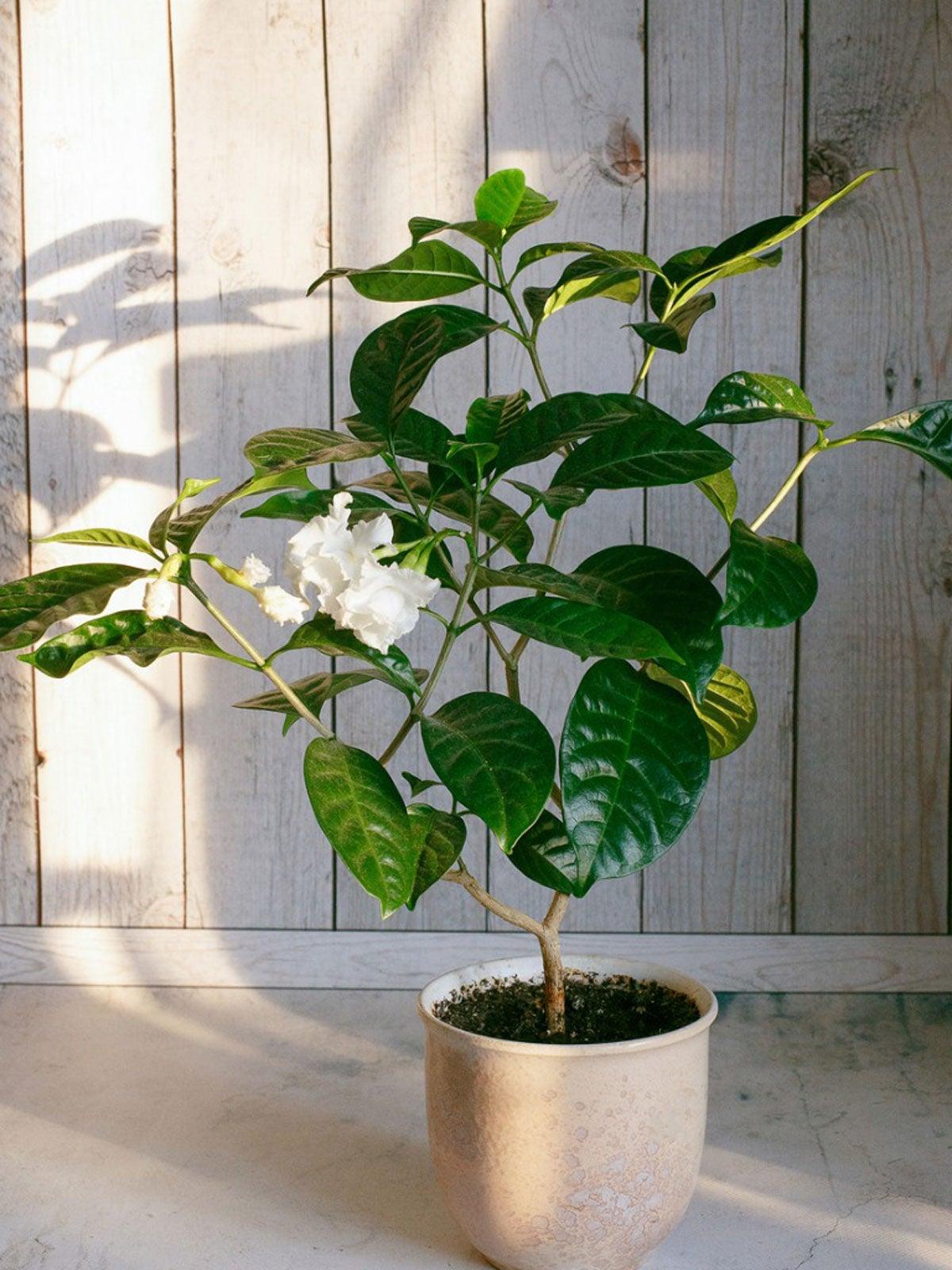 Care Of Indoor Gardenia - Learn How To Grow A Gardenia Indoors