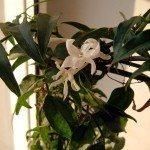 indoor-jasmine
