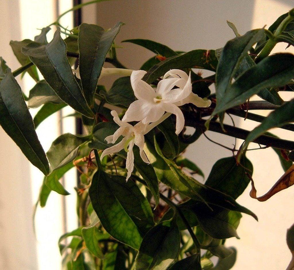 jasmine flowers how to care for a jasmine houseplant. Black Bedroom Furniture Sets. Home Design Ideas
