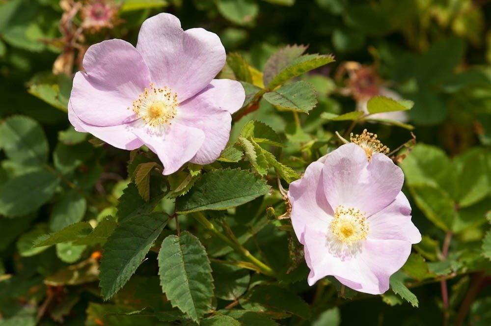 nootka wild roses information about nootka rose plants. Black Bedroom Furniture Sets. Home Design Ideas