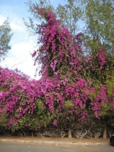 overgrown-bougainvillea