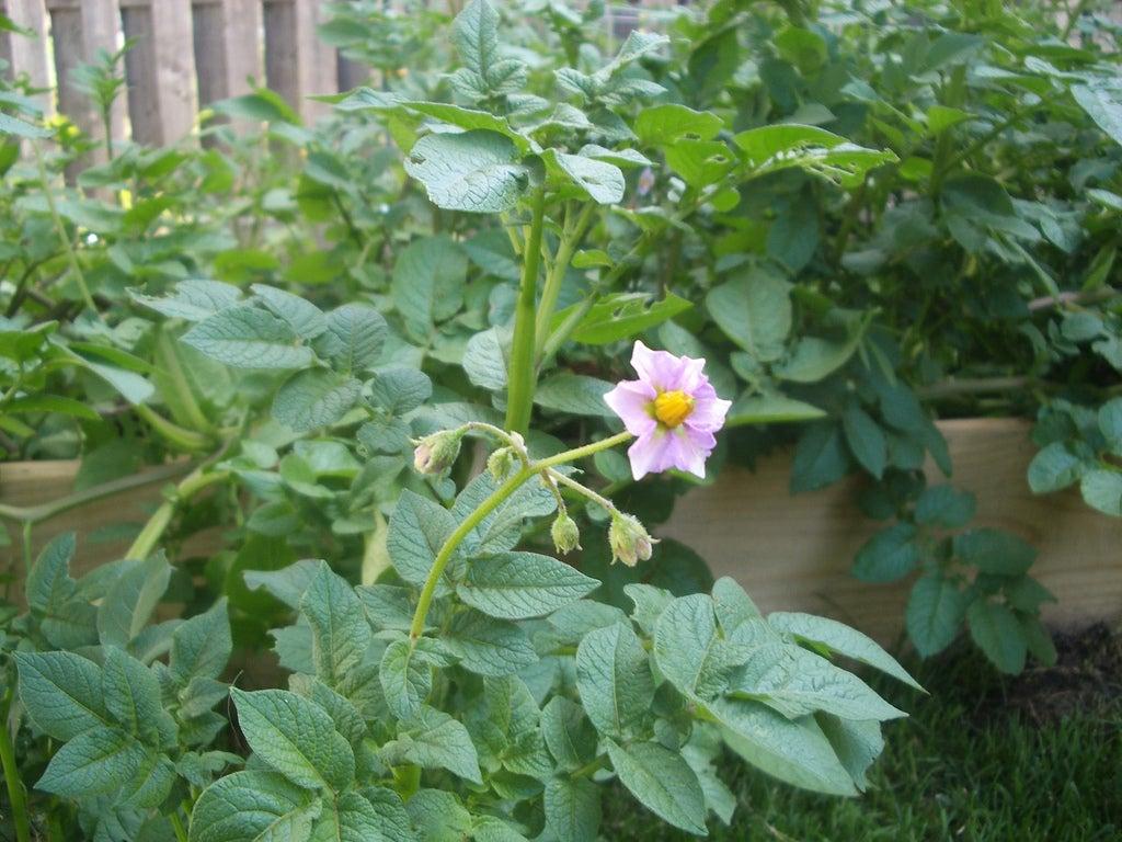 Do Potato Plants Bloom – Why Potato Plants Flower And Fruit