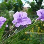 ruellia-wild-petunia