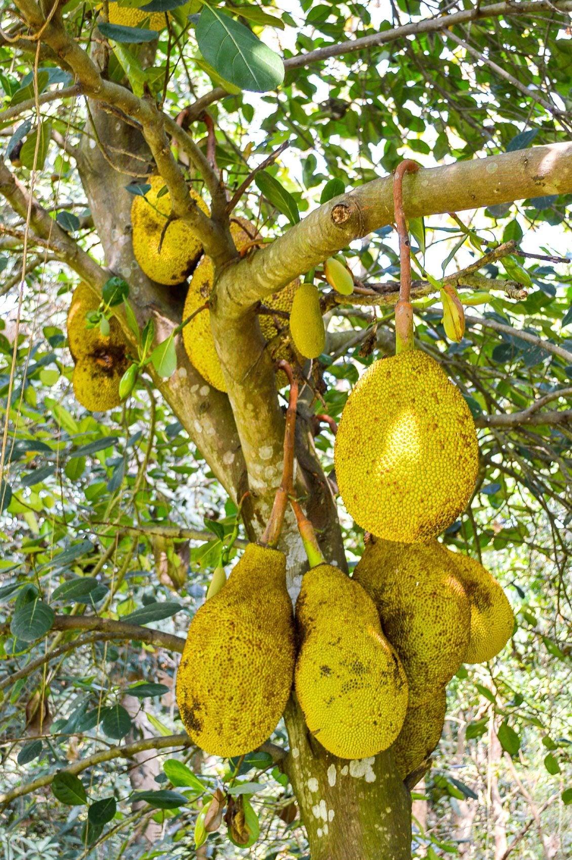Images Of Jackfruit Trees