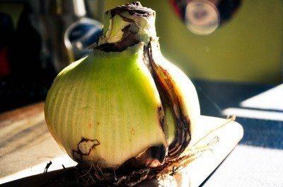 amaryllis-bulb