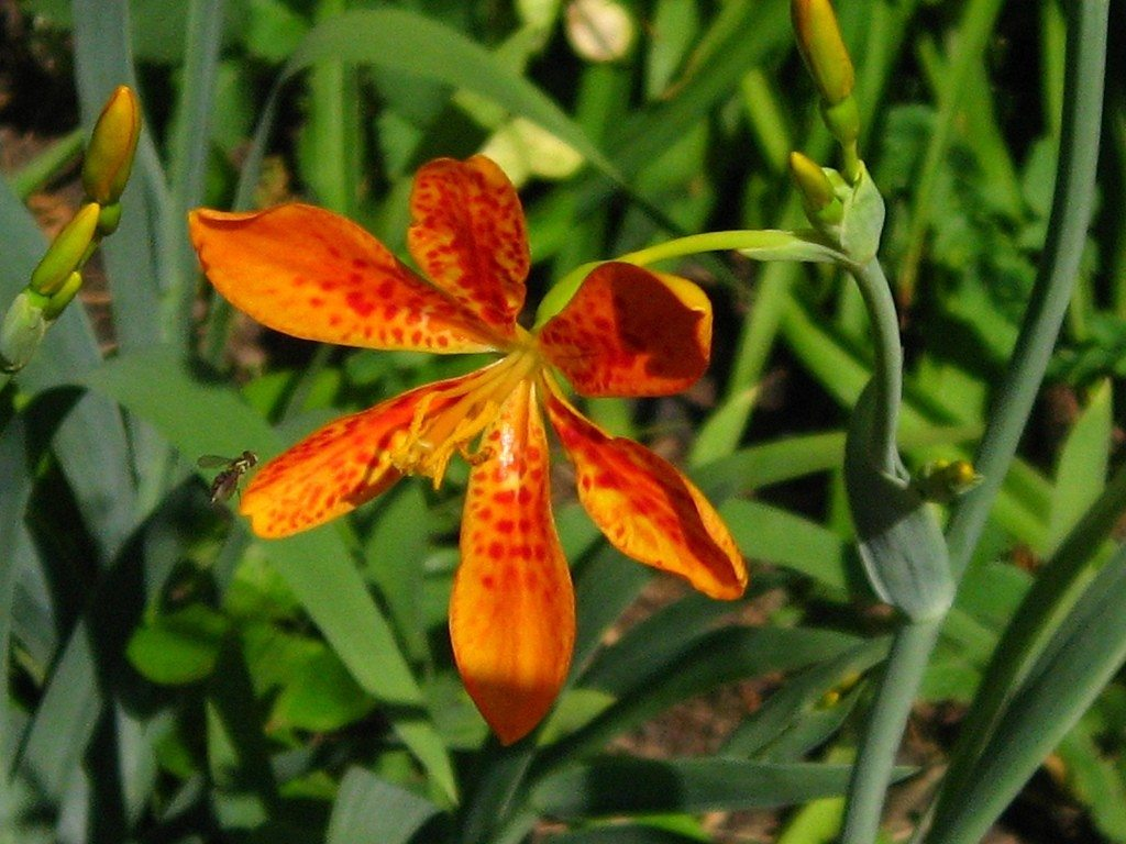 Blackberry lily care tips for growing blackberry lilies izmirmasajfo